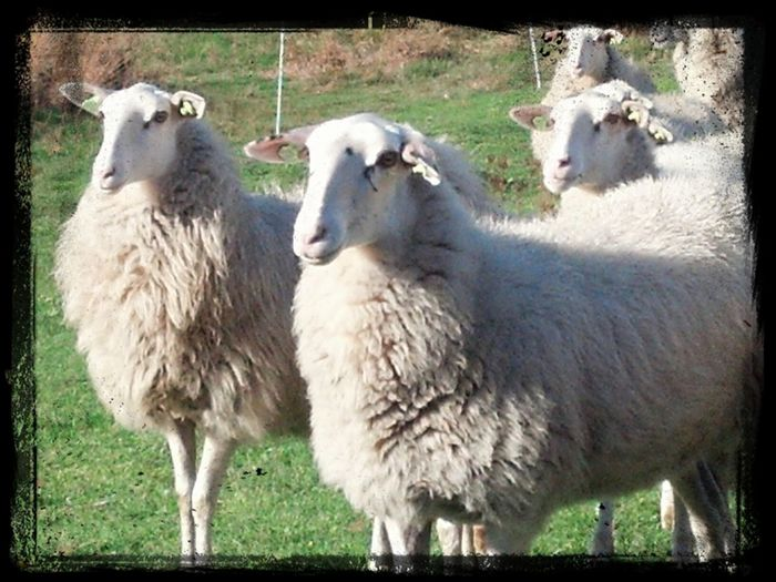 Naturelovers Nature_collection Sheeps Animals