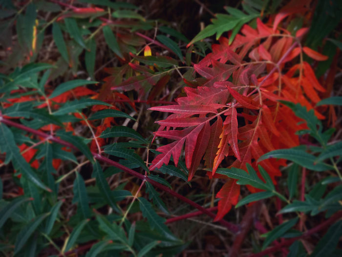 Close-up of red maple leaves on land