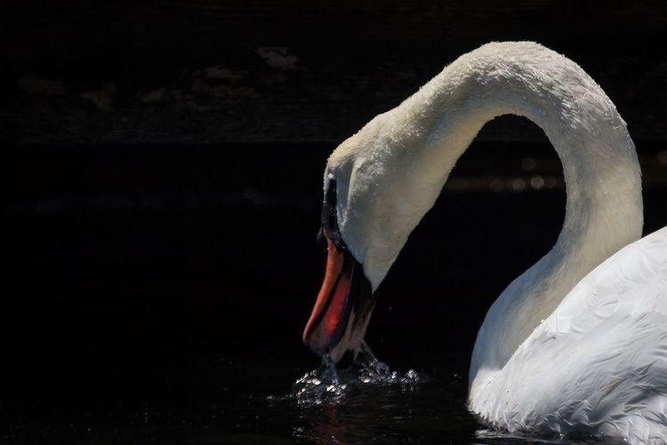 Animals In The Wild Bird Wildlife One Animal Swan Beak Water Close-up Water Bird Water Surface New Jersey LBI Loveladies