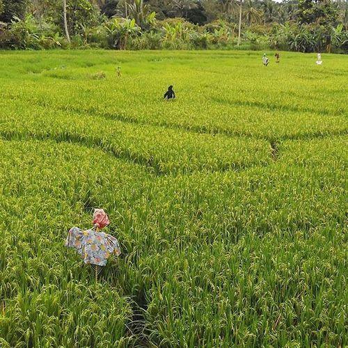 bentar lagi panen, tapi beras impor menghantui... Tolakimporberas KedaulatanPangan Foodsovereignty Farm farmer peasant petani petaniindonesia panenpadi harvest