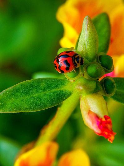 Flower Ladybug