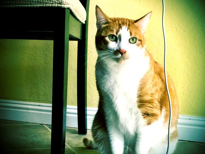 A ginger and white cat sits by a chair with a white cord hanging down. Alertness Cat Cat, Animal, Comfortable Domestic Animals Domestic Cat Home Mammal Nobody Old Furniture One Animal Pets Relaxing Sitting