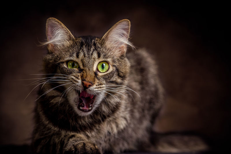 Animal Themes Black Background Close-up Day Domestic Animals Domestic Cat Feline Indoors  Looking At Camera Mammal No People One Animal Pets Portrait Whisker