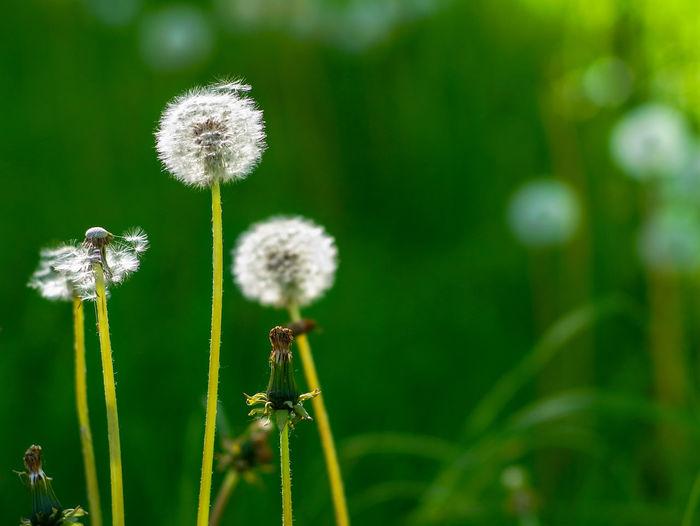 Close-up of dandelion flower on field