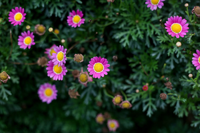 Flowering Plant Flower Freshness Beauty In Nature Plant Fragility Vulnerability  Growth Petal Flower Head Inflorescence Nature Close-up Pink Color No People Day Green Color High Angle View Botany Outdoors