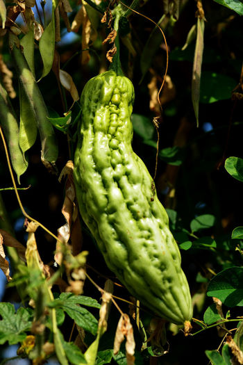 Close-up of vegetable on plant