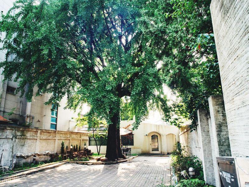 Summer Views Ginkgo Tree Summer ☀ Old Age Tree Green Leaves Closed Garden Seoul, Korea Oldtown