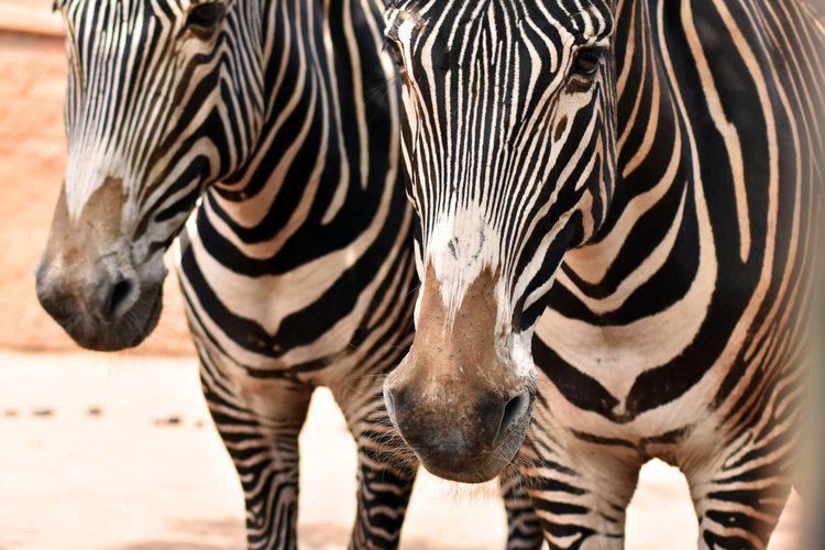 Cebra Zebra