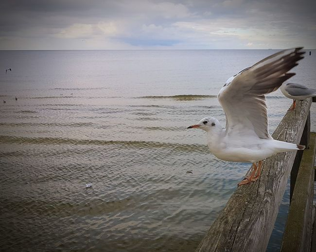 Startphase Gulls And Sea Gullwing Gull Sea Water Animal Wildlife Animal Animal Themes Bird Nature Sea Life Cloud - Sky Day Outdoors EyeEm Nature Lover EyeEm Best Shots Focus On Foreground Close-up EyeEm Team EyeEm Gallery Daylight Full Frame Animal_collection Animals In The Wild Beauty In Nature