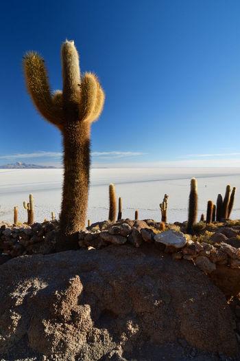 Sunrise at Isla Incahuasi. Salar de Uyuni. Bolivia Adventure Bolivia Cacti Cactus Clear Sky Desert Desert Beauty Exploration Eyeem Bolivia Giant Cactus Incahuasi Isla Incahuasi Landscape Nature Outdoors Salar De Uyuni Salt Salt Flats Scenics Travel Travel Destinations Uyuni Uyuni Salt Flat Miles Away
