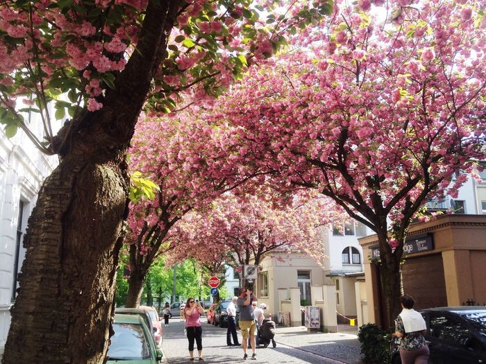 Pink cherry blossom tree in city