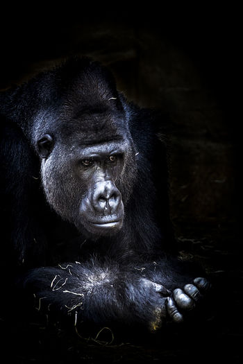 Portraits of monkeys in a zoo. Animal Black Chimpanzee Frust Gorilla Gorilla Monkey Portrait Sad Face Sadness Tier Traurigkeit Zoo Zoo Animals  Zootier