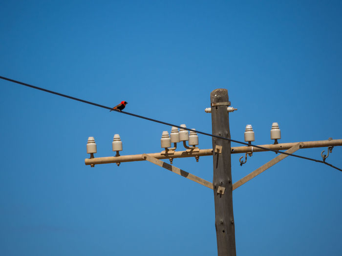Red bird on overhead power line Red South Africa Animal Themes Bird Blue Cable Clear Sky Copy Space Day Low Angle View Nature No People Outdoors Power Line  Signal Technology
