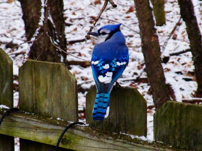 Blue jay perching on wooden fence at snow covered field