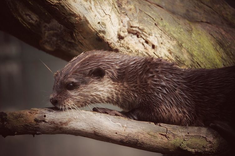 One Animal Animal Themes Animals In The Wild Mammal Animal Wildlife No People Day Outdoors Nature Close-up Fischotter Otter