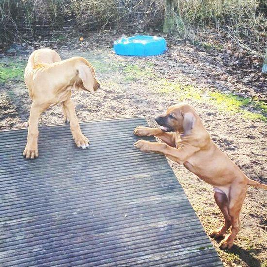 Ohana (links) zusammen mit ihrem Bruder Kito (rechts) in der Welpenschule ? Rhodesianridgeback Dog Hund Welpen puppies rhodesian ridgeback picoftheday instadogs liondog löwenhund puppy instapuppies sweet