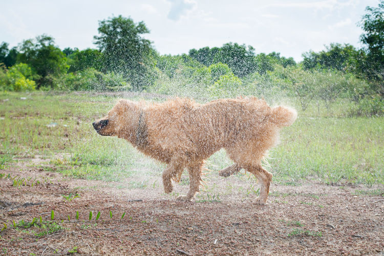 Golden Retriever dog shakes off water after a swim. Action Canine Copy Dog Field Fun Gold Golden Grass Happy Hot Hunter Hunting Landscape Motion Movement Nobody Off One Outdoor Outside Pet Play Rain Retriever Room Run Shake Sport Summer Summertime Sun Sunny Swimming Water Wet Animal Themes Animal Mammal One Animal Tree Standing