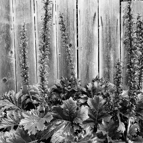 Plants In Black And White Acanthus Mollis Plant Nature Growth No People Flower Day Beauty In Nature