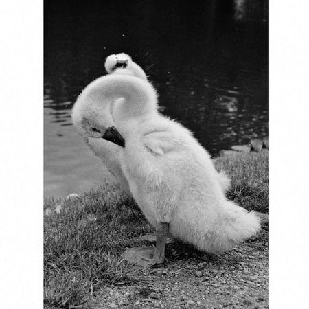 Czech Nature Blackandwhite Baby Swan Photo Nikonphotography Funny Animals Folow Me