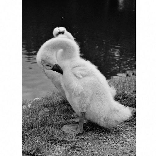 Czech Nature Blackandwhite Baby Swan Photo Nikonphotography Funny Animals Folow Me