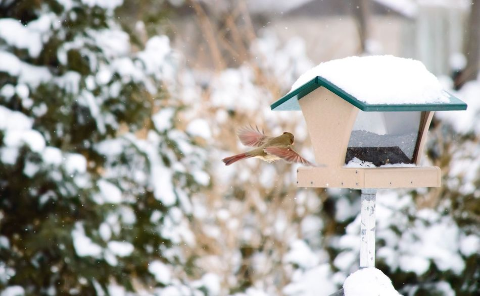 Female Red cardinal with pink color on wings flying to bird house on snowy winter day Nature Focus On Foreground Animals In The Wild Birdhouse Animal Themes No People Snow Animal Wildlife Bird Close-up Day Outdoors Cold Temperature Beauty In Nature Red Cardinal Cardinal Cardinal - Bird Female Cardinal Cardinalis Cardinalis Nature Photography Bird Photography Birds_collection Wings Spread