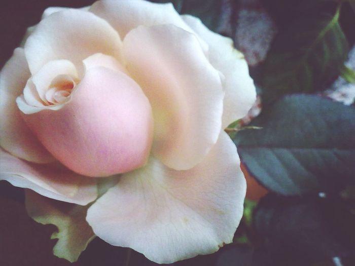 Gentle Rose Roses Flowers