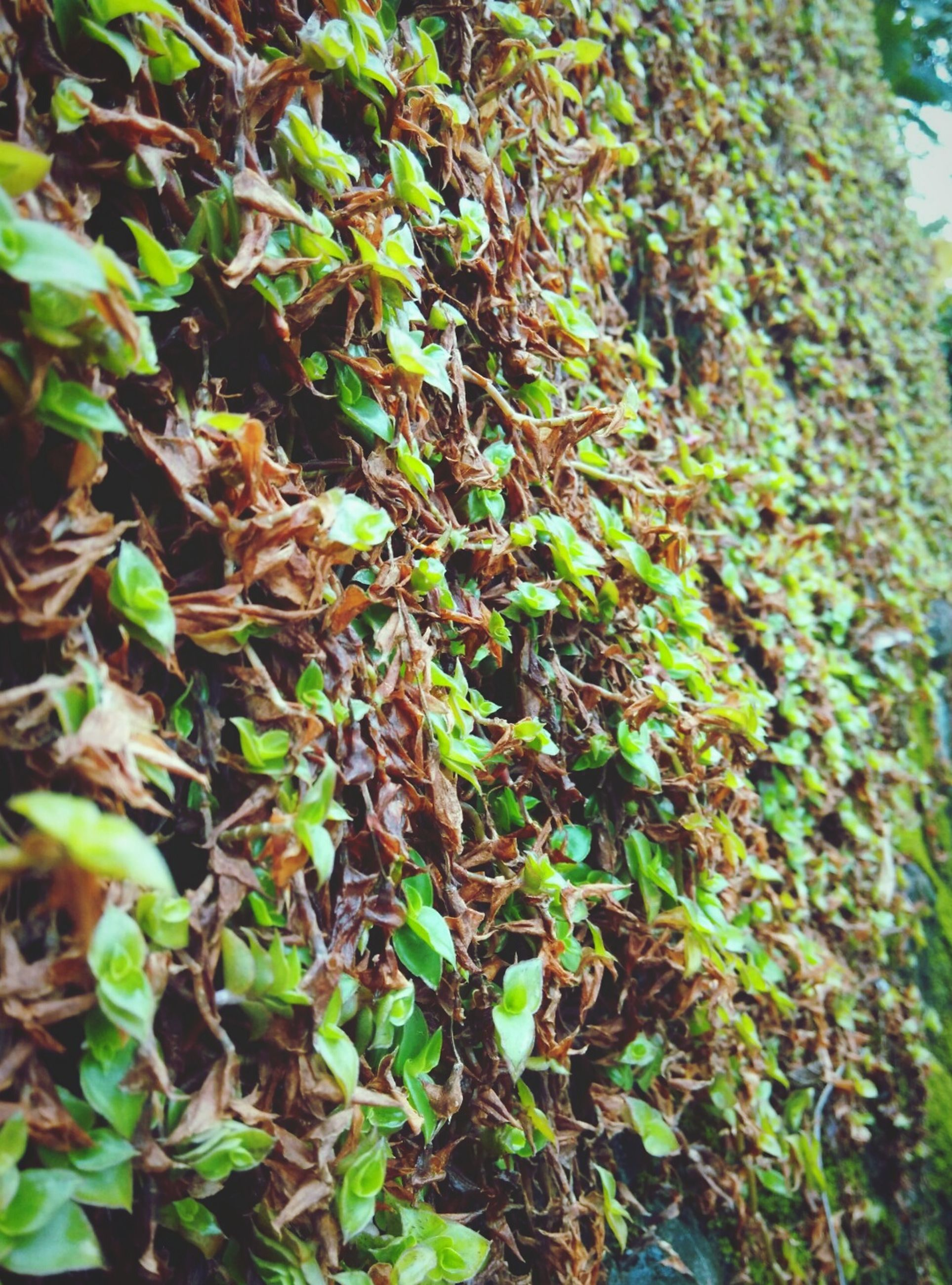 leaf, growth, nature, plant, green color, outdoors, no people, day, tree, beauty in nature, ivy, close-up, backgrounds, freshness