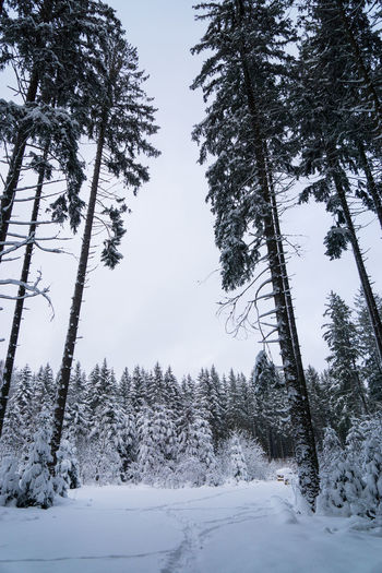 Tree Plant Winter Snow Cold Temperature Tranquility Beauty In Nature Forest Land No People Nature Growth Tranquil Scene Sky Non-urban Scene Scenics - Nature Day Covering Frozen Outdoors WoodLand Pine Tree Coniferous Tree Black Forest