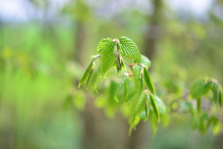 Green Color Plant Growth Beauty In Nature Selective Focus Close-up No People Nature Leaf Day Plant Part Land Tranquility Focus On Foreground Outdoors Field Freshness Vulnerability  Beginnings Fragility Coniferous Tree