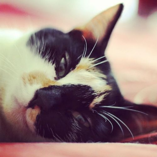 Sleepy sweetie. Cats Catpics Cute Sleepy love meow catlady