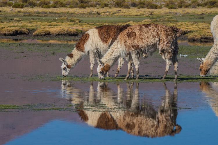 Llamas grazing by lake