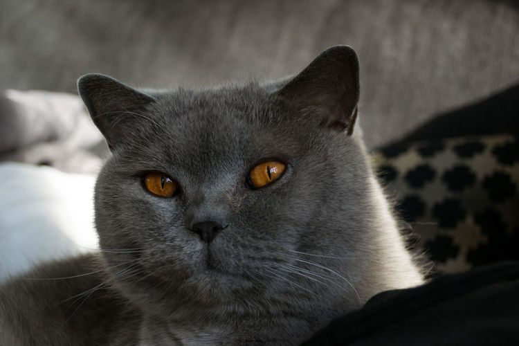 At Home British Shorthair Cat On Bag Chilling Cuddling With My Kitty Domestic Animals Domestic Cat Eyes Fluffy Gray Grey Pets Portrait Of A Cat Traveling Berlin