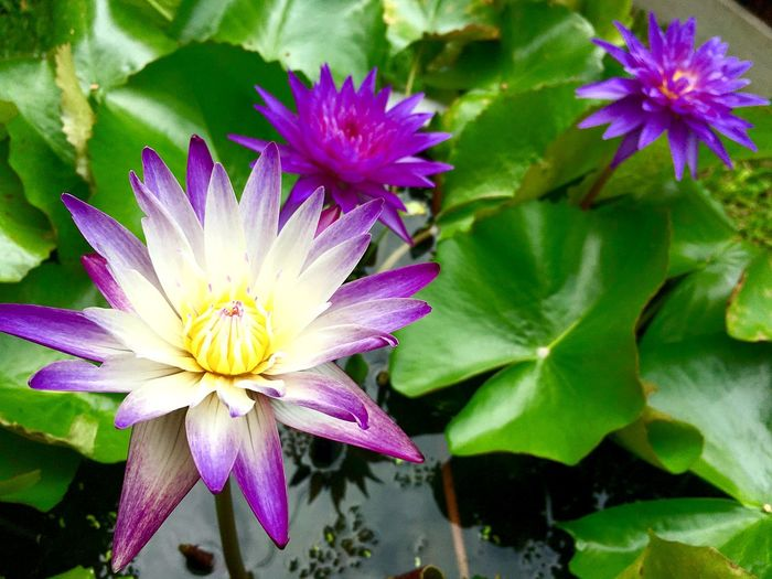 Water lily, lotus flowers Flowering Plant Flower Plant Vulnerability  Freshness Fragility Beauty In Nature Petal Growth Close-up Flower Head Purple Leaf Plant Part Nature Pollen Day Pink Color No People