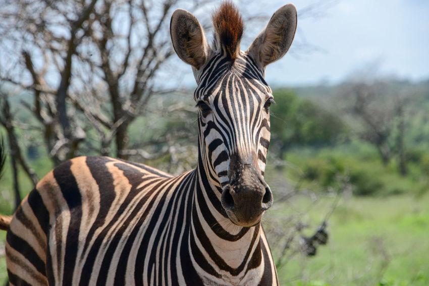 Safari in Kruger National Park, South Africa Kruger Park South Africa Wildlife & Nature Africa Animal Themes Animal Wildlife Animals In The Wild Day Focus On Foreground Kruger Krugernationalpark Krugerpark One Animal Safari Safari Animals Striped Zebra