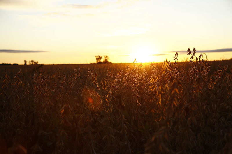 Atardecer Campo Cultivo EyeEm EyeEm Best Shots EyeEm Nature Lover EyeEm Selects EyeEm Gallery EyeEmBestPics EyeEmNewHere Farm Farm Life Farmland Eye4photography  Land Nature Planta Plantation Sky Soja Sol Soy Sun Sunrise Sunset