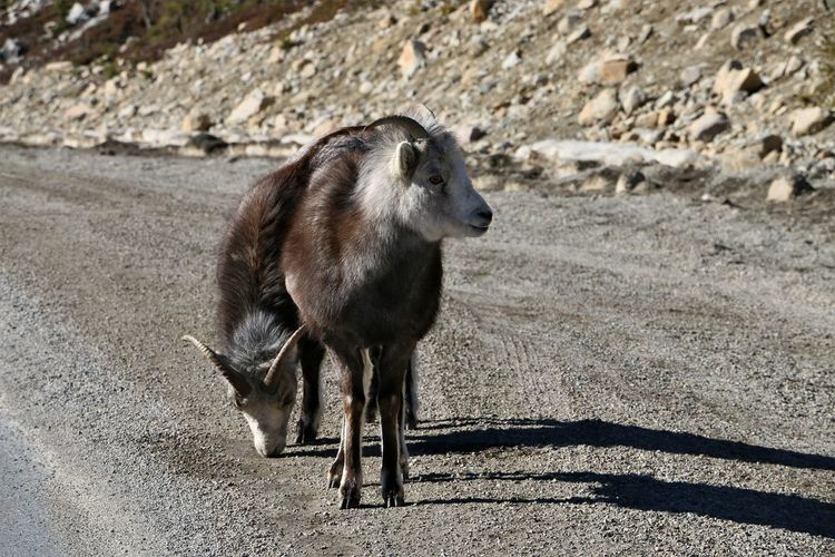 Mountain sheep on road in British Columbia, Canada Mammal Vertebrate Animal Wildlife Nature Animals In The Wild Day No People Herbivorous Mountain_sheep Sheep Wildlife Wildlife & Nature Wildlife Photography Road