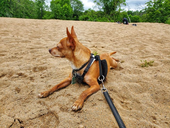 Middletown Tan Color Trees Chihuahua Dog Pet Pet Photography  Leash Harness Green Green Color Blue Blue Sky Samsungphotography Samsung Clouds And Sky Cloud Beach Sunlight Shadow Sky Close-up Dog Lead Pet Collar Pet Equipment Pet Leash Canine Pampered Pets Chihuahua - Dog Lap Dog