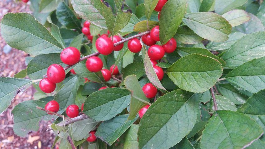 Maximum Closeness autumn, holly bush, evergreen