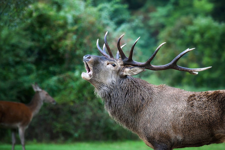 Side view of stag calling
