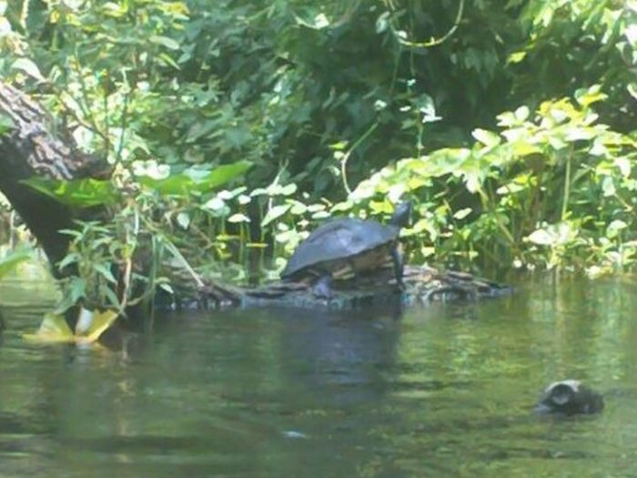The Great Outdoors - 2015 EyeEm Awards Wildlife Turtle Turtle On The Banks Wekiva River Apopka Florida Kayak