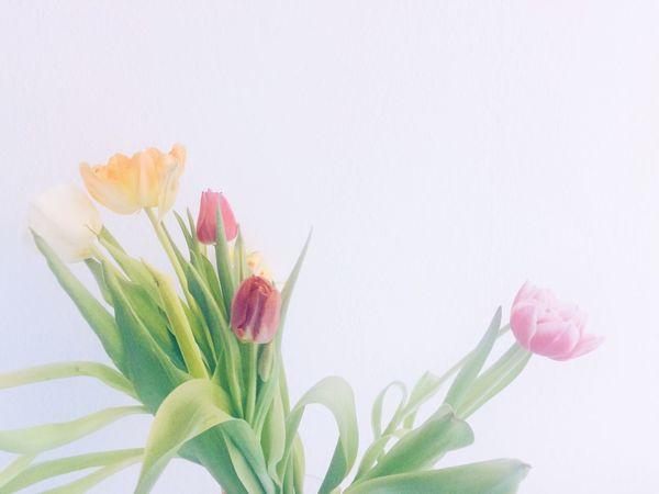Tulips Flowers White Nature