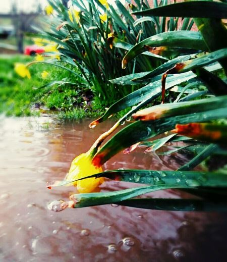 AprilShowersBringMayFlowers Spring Flowers Waterdrops Daffodils EasterFlower Rainy Days Colors Of Nature Bloom Bulb Flowers Flowerporn Garden Photography Puddle Splash Of Colour Plants And Flowers Yardporn Frontyardphotography Ripples
