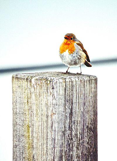Birds Birds Of EyeEm  Cheese! Hi! Pettirosso Robin Winter Nature