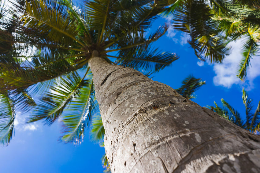 Palm against blue cloudy sky Bark Beauty In Nature Blue Branch Coconut Palm Tree Day Directly Below Growth Leaf Low Angle View Nature No People Outdoors Palm Leaf Palm Tree Plant Sky Tall - High Tranquility Tree Tree Canopy  Tree Trunk Tropical Climate Tropical Tree Trunk