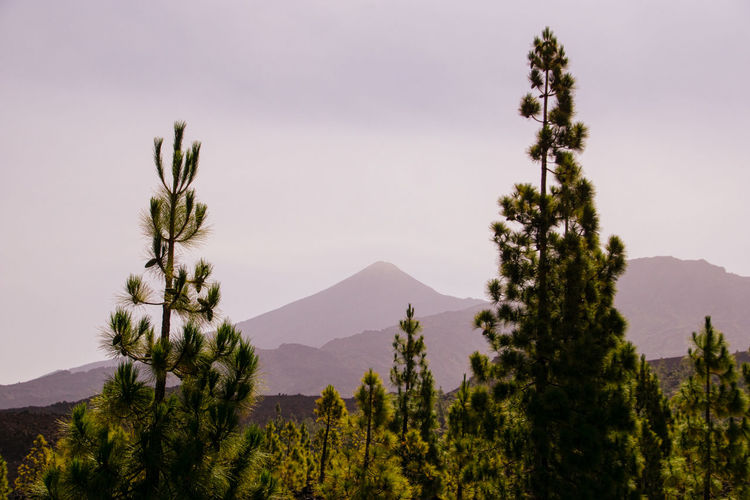 Magnificent Peak of Mount Teide Plant Mountain Tree Beauty In Nature Tranquil Scene Tranquility Growth Sky Environment Nature Idyllic No People Landscape Mountain Peak Coniferous Tree Pine Tree Outdoors Day Volcano Volcanic Landscape Teide Teide National Park EyeEm Best Shots EyeEm Nature Lover Sony A6000