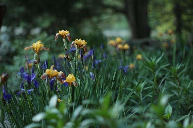 Flowers Iris Moms Yard