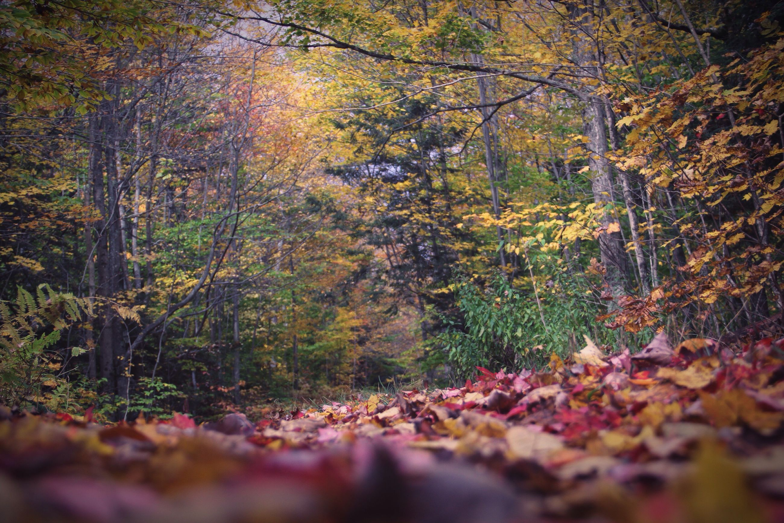 tree, autumn, tranquility, forest, nature, growth, change, surface level, tranquil scene, selective focus, beauty in nature, leaf, scenics, the way forward, season, fallen, landscape, non-urban scene, outdoors, day