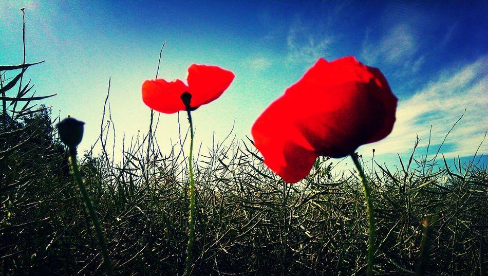 Klatschmohn 🍀 Sommer, Blumenmeer, Kornfeld