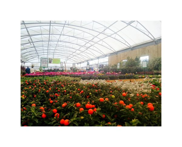 Flower Plant Poppy Nature Greenhouse Growth Outdoors Day Fragility Freshness No People Garden Center Lots Of Flowers Bulk For Sale Retail  Comercial