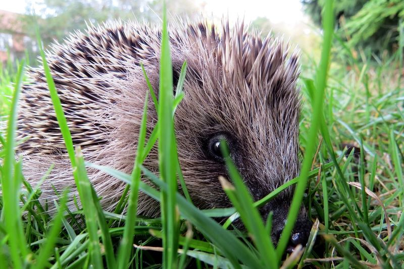 Animal Animal Head  Animal Themes Animal Wildlife Animals In The Wild Baby Animals Baby Hedgehog Close-up Cute Animals Day Domestic Field Grass Green Color Hedgehog Land Mammal Nature No People One Animal Outdoors Pets Selective Focus Vertebrate Whisker